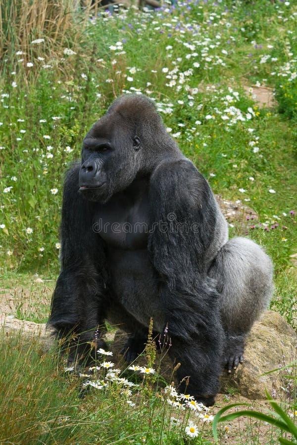 Silverback Gorilla standing. Large male Silverback Gorilla standing position stock photography