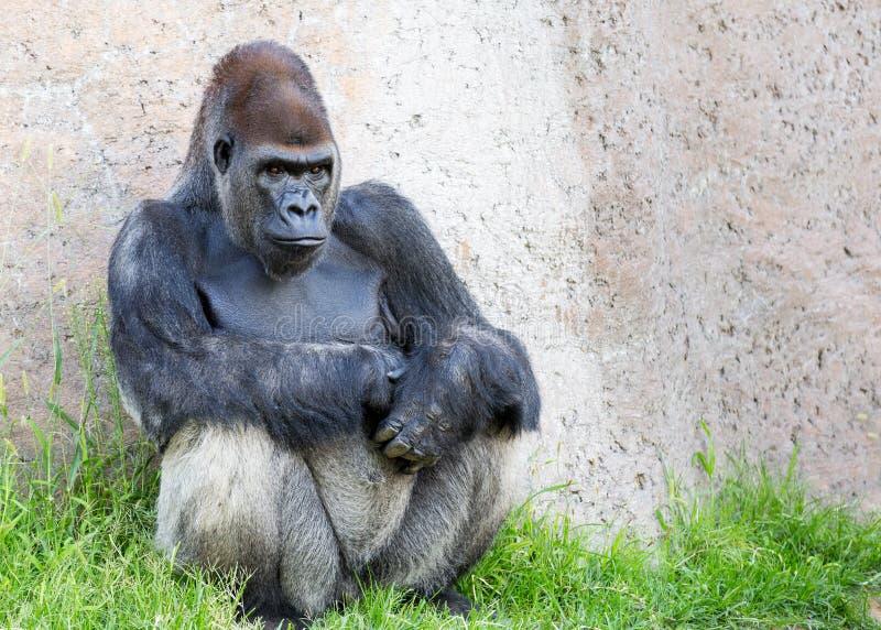 Silverback Gorilla. A silverback gorilla stares intensely. Copy space available royalty free stock photo
