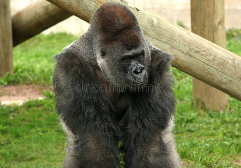 Silverback goryl obrazy royalty free
