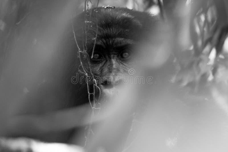 Silverback goryl podkrada się fotografa w Impenatrable Forrest w Uganda zdjęcie royalty free