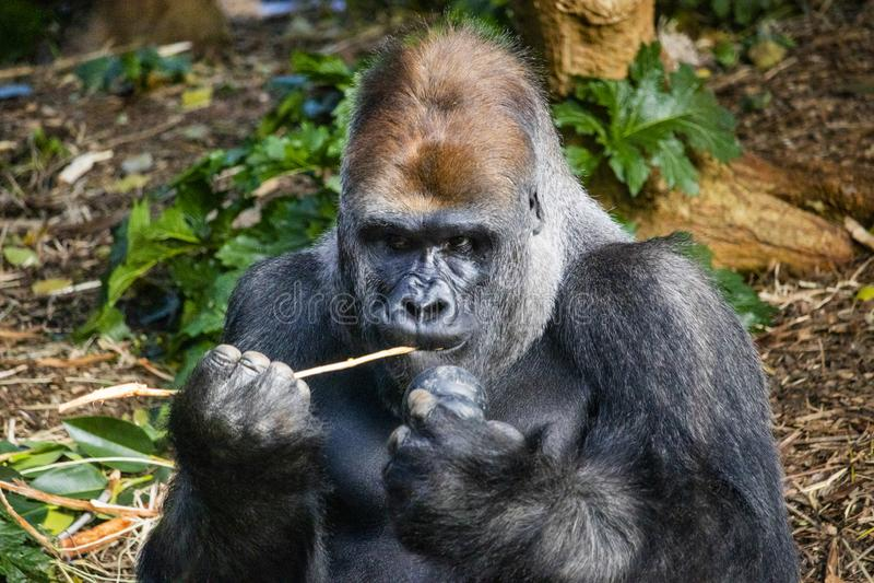 Silverback goryla łasowanie z kong zdjęcia royalty free