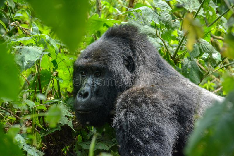 Silverback Mountain gorilla close up. A close-up shows the intense eyes and enormous size of the Silverback mountain gorilla in Bwindi Impenetrable National Park royalty free stock images