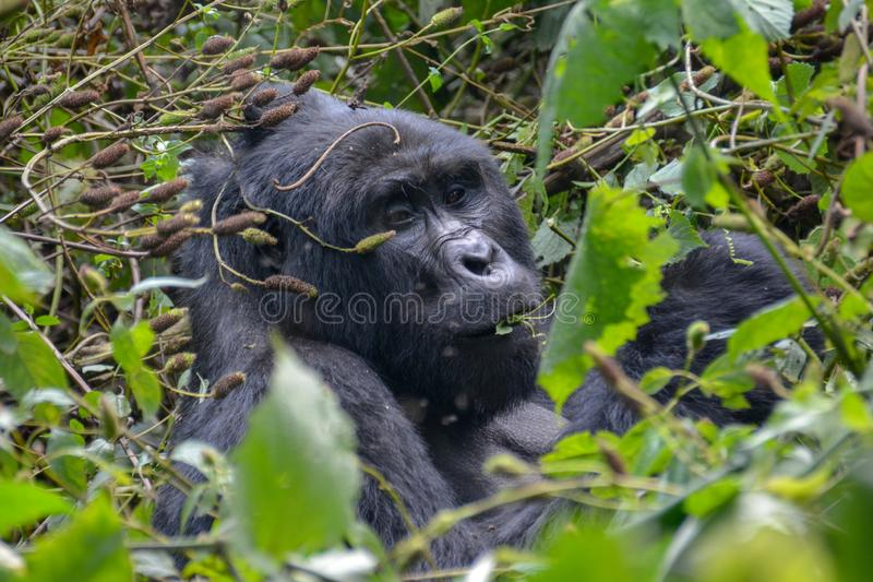 Silverback Mountain gorilla close up while snacking. Silverback mountain gorilla snacking on some branches during a trek through Bwindi Impenetrable National stock image