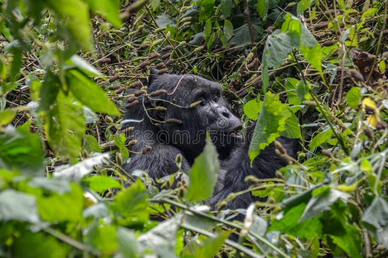 Silverback Mountain gorilla eating in the near distance. Silverback mountain gorilla enjoying a snack in the very dense foliage of Bwindi Impenetrable National stock image