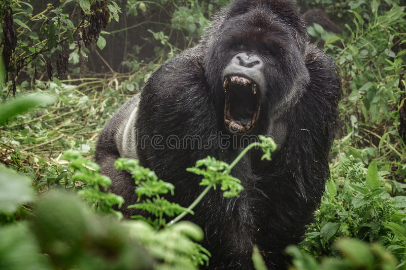 Silverback mountain gorilla in the misty forest opening mouth stock images