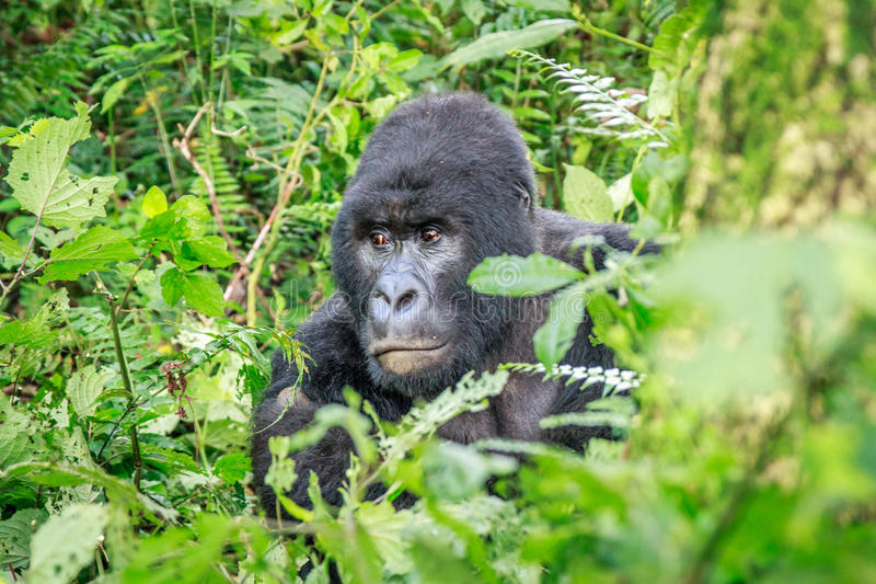 Download Silverback Mountain Gorilla Sitting In Leaves. Stock Photo - Image: 83723128