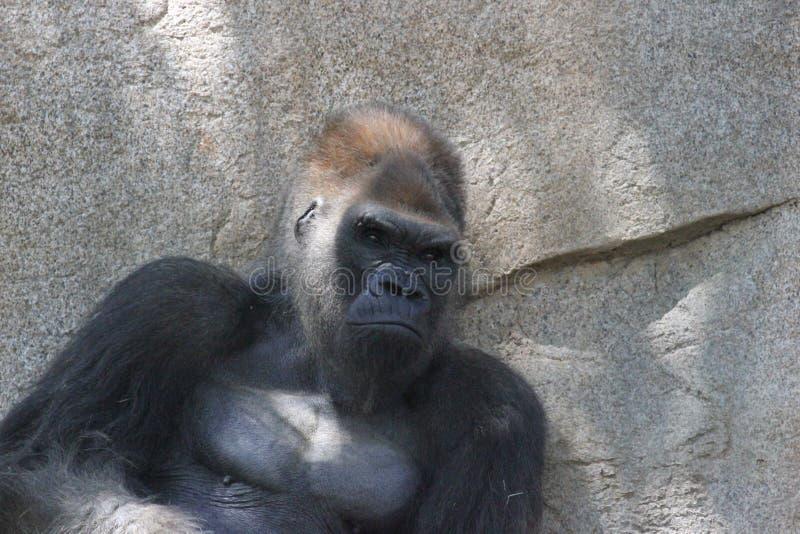 Western lowland Gorilla Gorilla gorilla gorilla stock photo