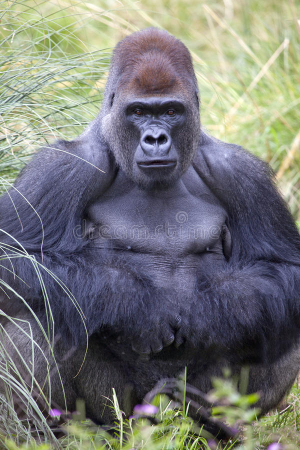 Download Silverback Western Lowland Gorilla Stock Photo - Image: 33300934