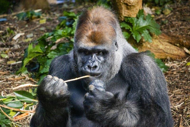 Silverbackgorilla som äter ut ur en kong royaltyfria foton
