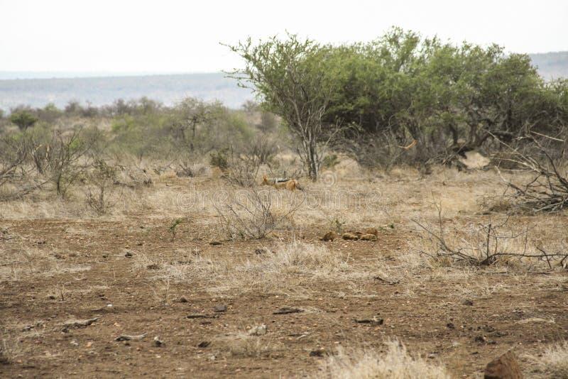 Silverbackjakhals die met zwarte rug in de Afrikaanse struik, Kruger, Zuid-Afrika lopen stock foto's