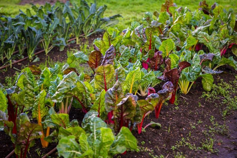Silverbeet en broccolilandbouwbedrijfpermaculture royalty-vrije stock afbeeldingen