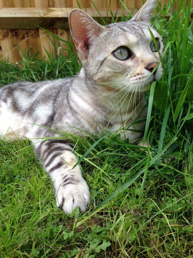 SilverBengal katt i gräset arkivfoton
