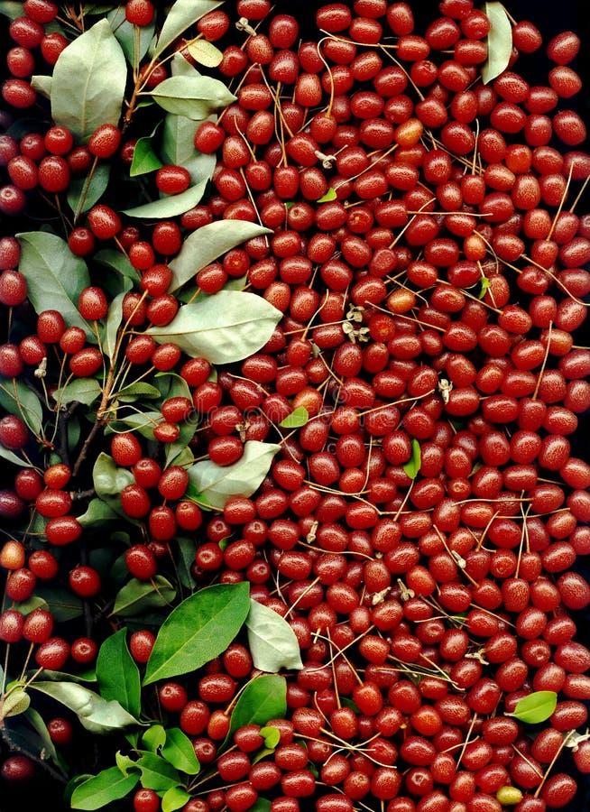 Silverberries od oleaster lub elaeagnus drzewa dla tła fotografia stock