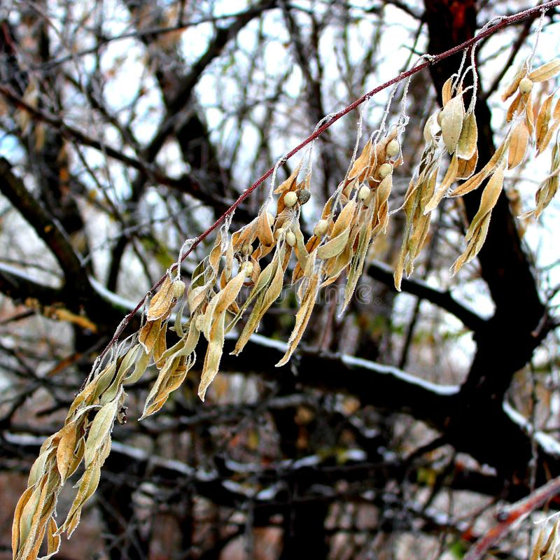 Silverberry eller varg-pil royaltyfri foto