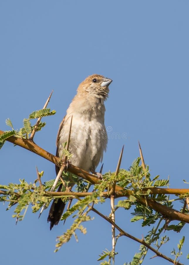 Silverbill鸟 免版税库存照片