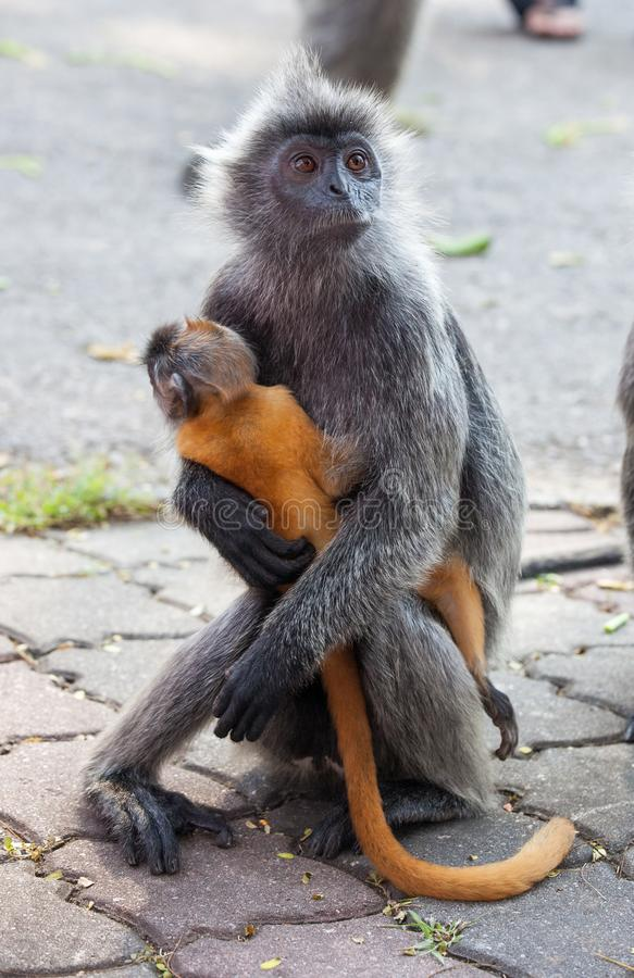 Silvered leaf monkey hugs its orange colored baby Malaysia stock photography