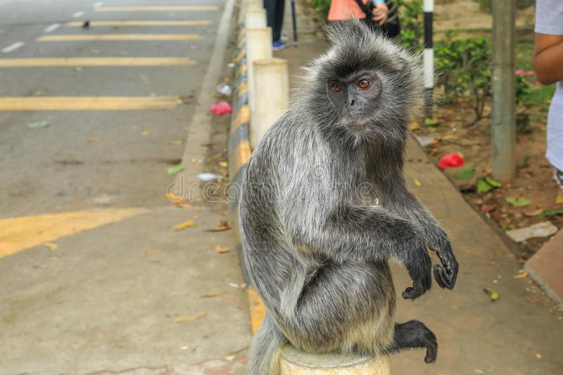 Silvered leaf monkeys Trachypithecus cristatus sitting on guardrail in an outdoor park stock images