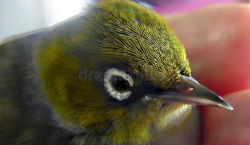 Silvereye Bird. The Silvereye is a small bird with a conspicuous ring of white feathers around the eye, and belongs to a group of birds known as white-eyes. The stock photography