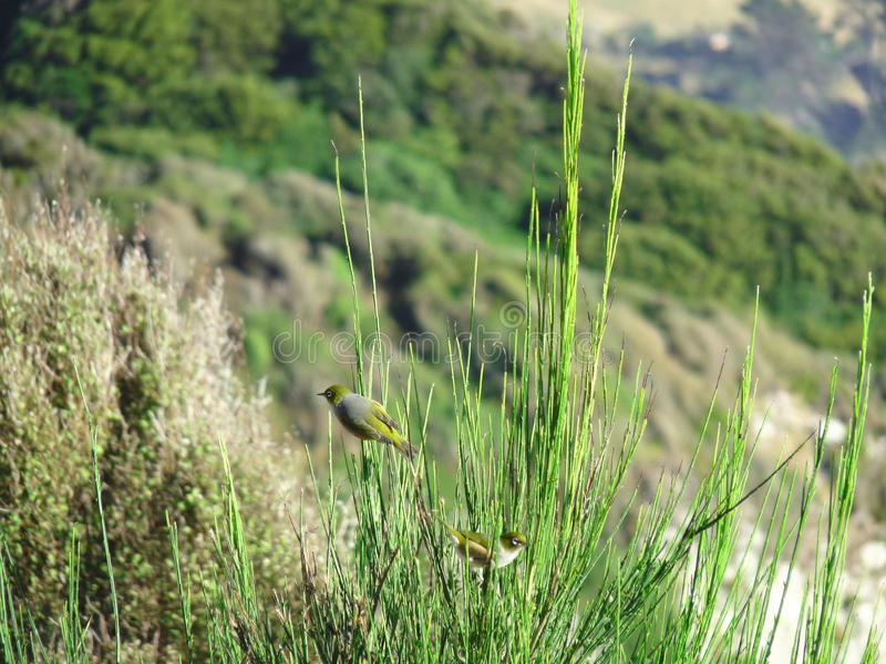 Silvereye (Zosterops lateralis) in the Green stock photos
