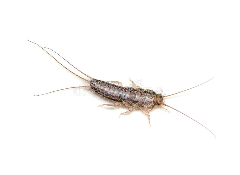 Silverfish photo libre de droits