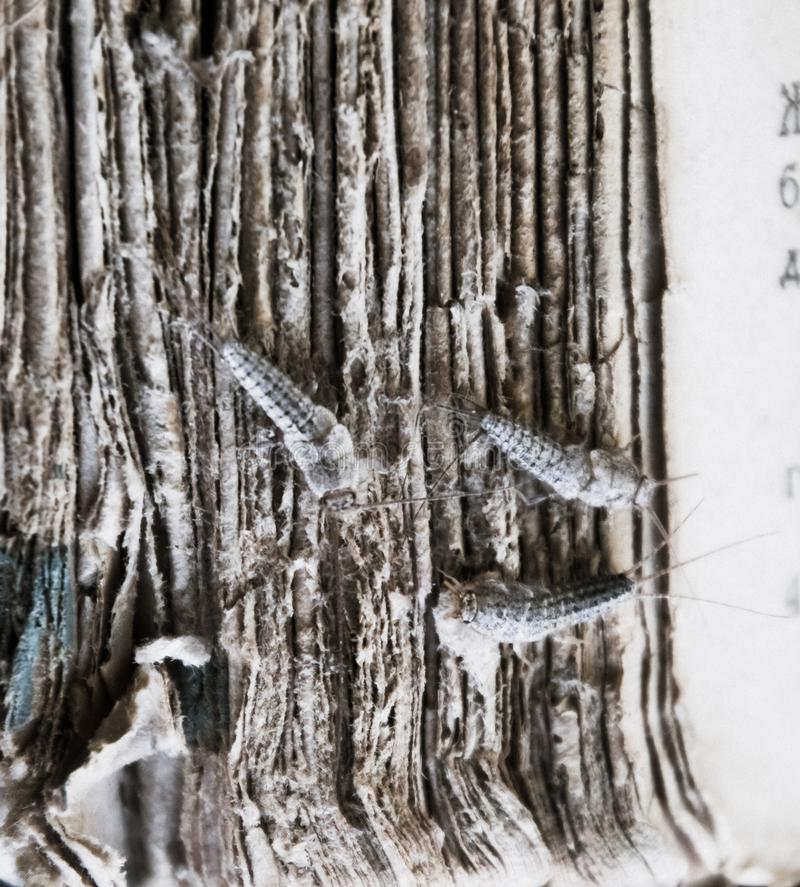 Silverfish three pieces on the torn cover of an old book. Pest books and newspapers. Insect feeding on paper - silverfish royalty free stock photo