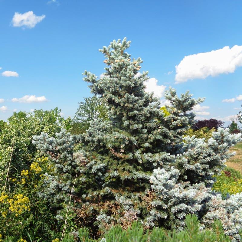Silvergran - den Eutopia trädgården - Arad, Rumänien royaltyfria bilder