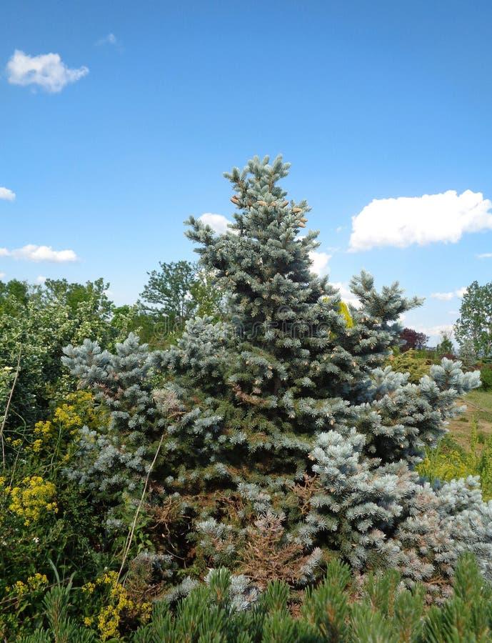 Silvergran - den Eutopia trädgården - Arad, Rumänien royaltyfri foto
