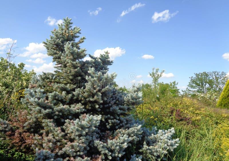 Silvergran - den Eutopia trädgården - Arad, Rumänien royaltyfria foton