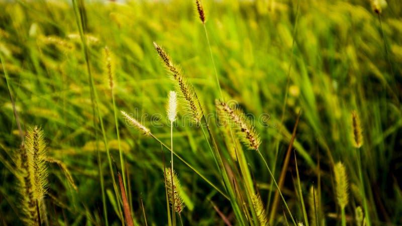 Silvergrass del giapponese dell'oro fotografie stock
