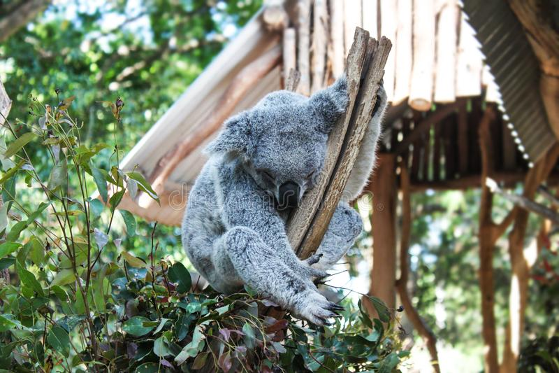 Silverkoala som rymmer på filialen som omges av eukalyptussidor med bokehbakgrund royaltyfria foton