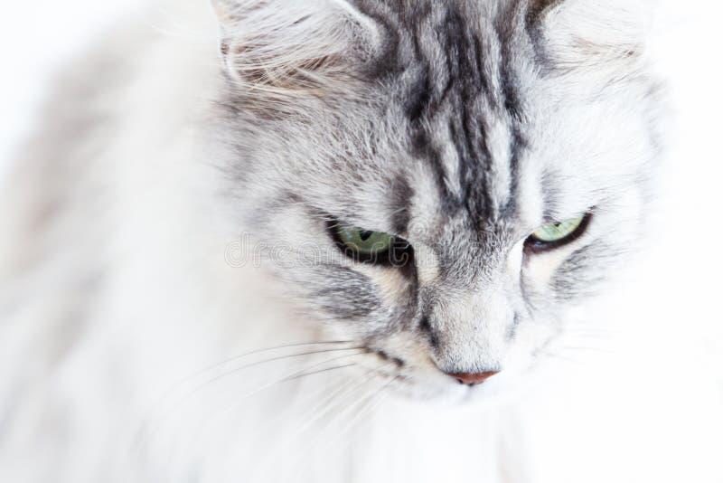 SilverMaine Coon katt på vitt se för bakgrund royaltyfri bild