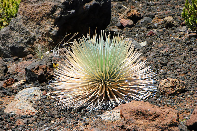 Download Silversword stock photo. Image of grow, environment, silversword - 23066404