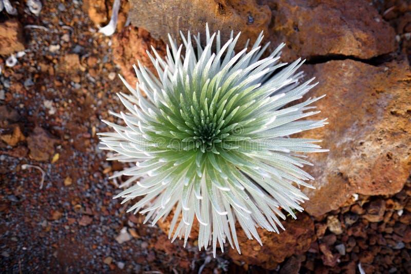 Silversword Haleakala, сильно угрожаемое эндемическое заболевание цветкового растения к острову Мауи, Гаваи стоковое изображение rf