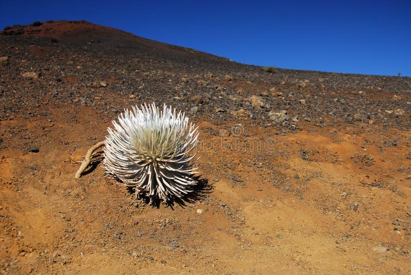 Silversword at Haleakala National Park stock photo
