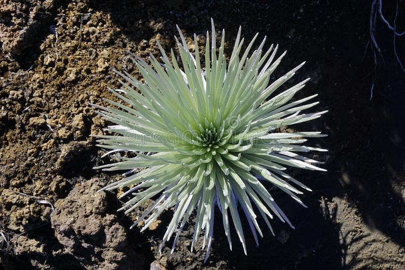 Silversword in nationaal park Haleakala in Hawaï royalty-vrije stock afbeeldingen