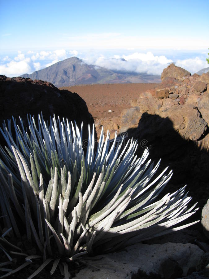 Free Silversword Plant Overlooking Mountain Stock Images - 17484974