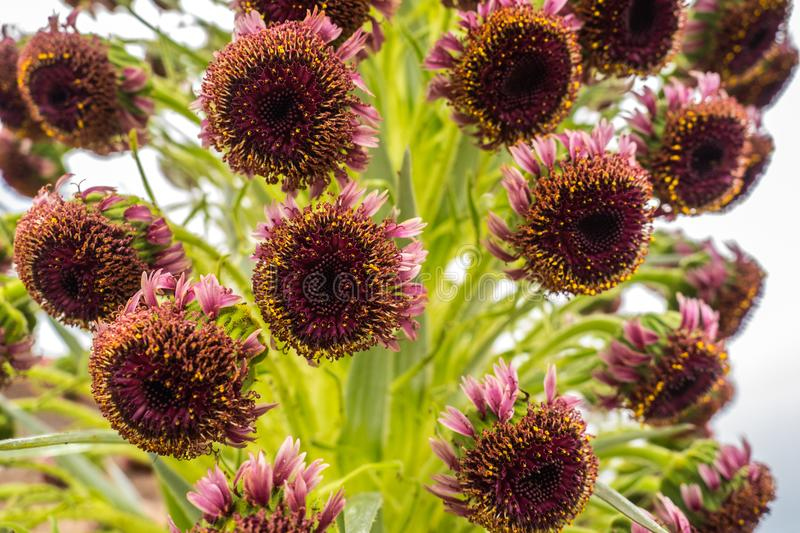 SILVERSWORD`S FLOWERS royalty free stock image