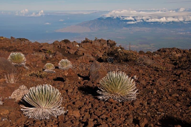 Silverswords auf Haleakala über Maui lizenzfreies stockfoto