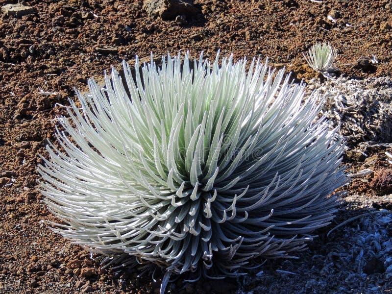 Silverswords het groeien in de enorme krater van Haleakala, de wereld` s grootste sluimerende vulkaan, Maui, Hawaï, Hawaiiaanse E stock afbeeldingen
