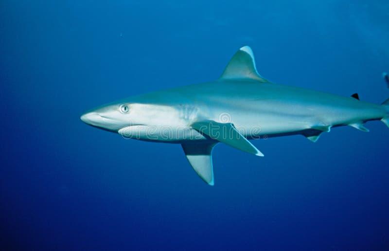 Silvertip Reefshark photo stock