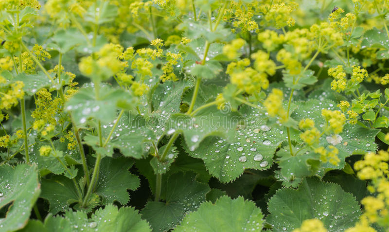 Silvery dewdrops sparkling on velvet leaves. Bright yellow budding and blooming Ladys Mantle or Alchemilla mollis plants with silver water droplets on the royalty free stock photography