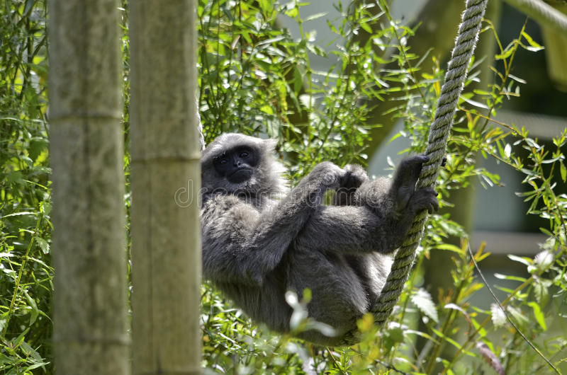 Silvery gibbon. A Silvery gibbon on ropes and bamboos royalty free stock image
