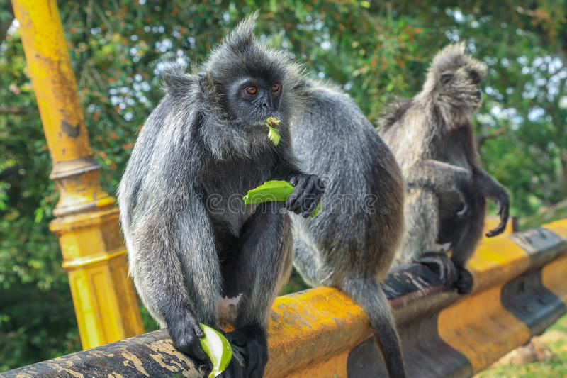 Silvered leaf monkeys Trachypithecus cristatus sitting on guardrail in an outdoor park royalty free stock image