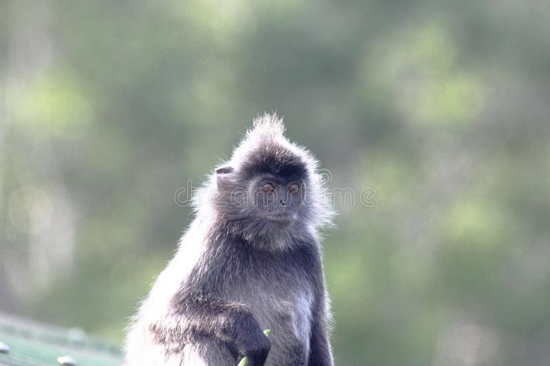 Silver leaf monkey or Silvery Lutong or Silvery Langur Trachypithecus cristatus in the mangrove of Labuk Bay in Sabah, Malaysa stock photos