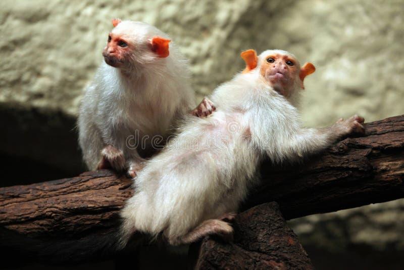 Silvery marmoset (Mico argentatus). stock photo