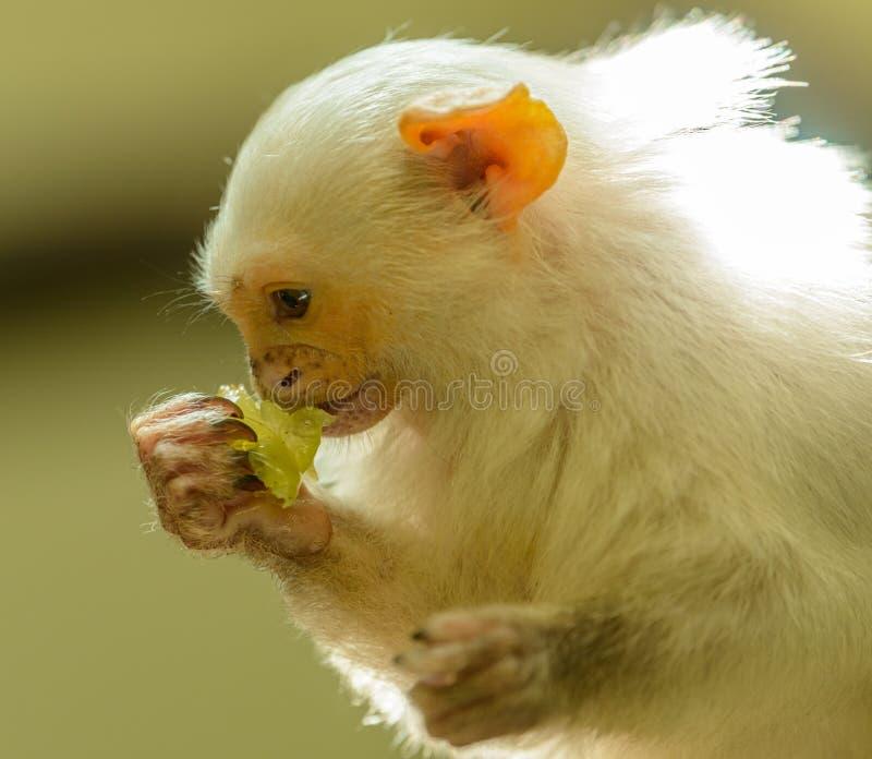 Silvery marmoset monkey profile portrait eating a grape royalty free stock photo