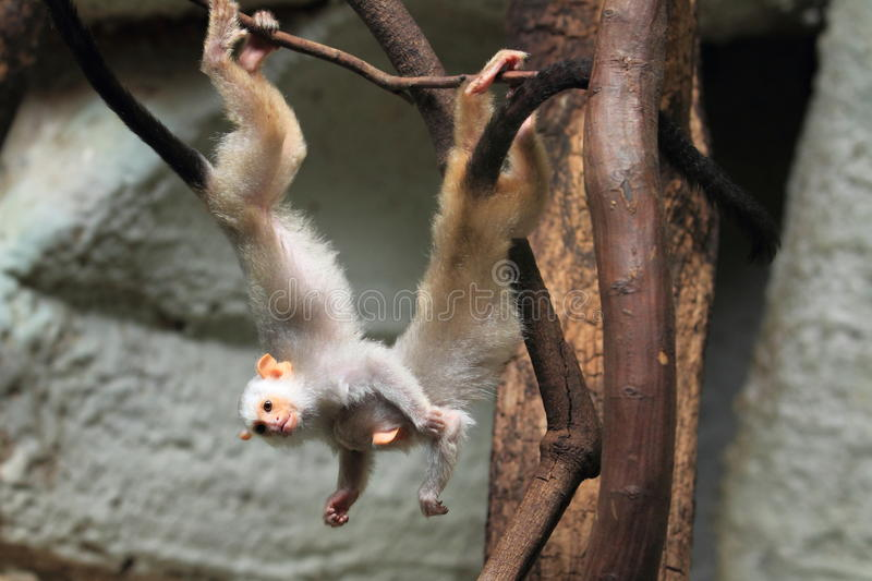 Silvery marmoset. The young silvery marmoset hanging on the branch stock photo