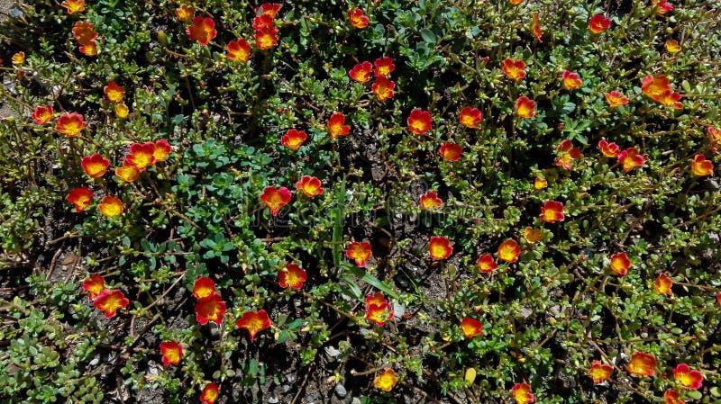 Silvester del jardín de las flores anaranjadas y amarillas fotografía de archivo libre de regalías