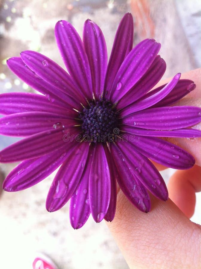 Silvestre violeta de Margarita imagem de stock royalty free