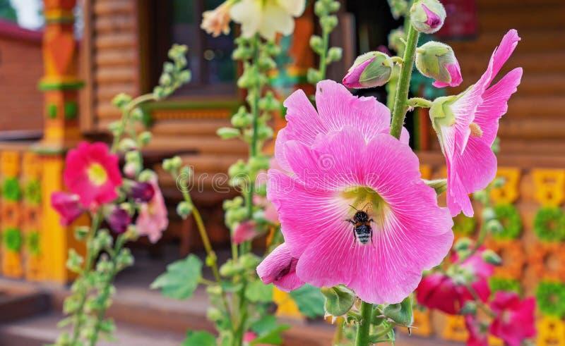 Silvestris rosa di fioritura della malva o della malva con un'ape che raccoglie polline fotografie stock libere da diritti